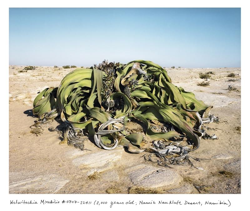瑞秋.薩斯曼,《世界上最古老的生物》,〈千歲蘭 #0707-22411(兩千歲,納米布.諾克陸夫沙漠,納米比亞)〉,2004–2014,中片幅負片的數位彩色印刷,111.76×137.16公分