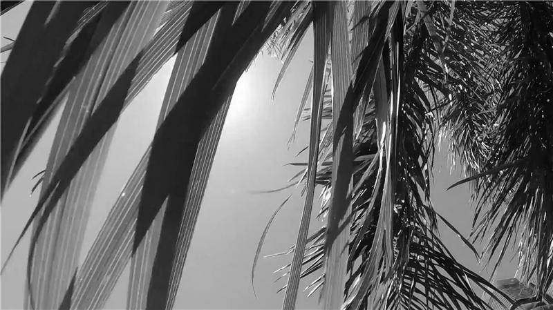 漠視:大王椰子(Roystonea regia)。侯志仁 & 鄧信惠,《植物眼中的臺北》(影像截圖),2018,錄像裝置、複合媒材,尺寸視空間而定。錄影:簡心成;剪接:潘世豪